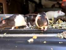 अरे देवा! वॅनमध्ये 320 उंदरांसोबत राहत होती महिला; पण का?