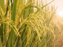 भातपिकांना रोगांची लागण; सततच्या पावसामुळे भातशेतीवर परिणाम