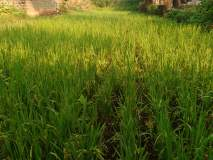 शिराळा तालुक्यात अवकाळी पावसाने भात पिकास खोडवे