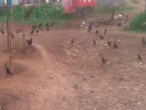 श्रीगोंद्यात भरते कावळ्यांची शाळा; कावळ्यांना खाद्य टाकणारा अवलिया