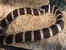 ... म्हणून सापाने स्वतःलाच खाण्यास सुरूवात केली; पाहा धक्कादायक व्हिडीओ