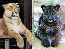 एकाच प्रजातीत दोघांचे गुण, पाहा Hybrid Animals!