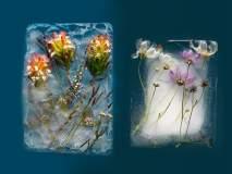 बर्फात गोठलेल्या फुलांचे इतके सुंदर फोटो तुम्ही पाहिले नसतील!
