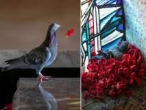 जवानाच्या समाधीवरील फूल वेचून कबूतराने थाटलं सुंदर घरटं, फोटो व्हायरल...