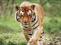 मी जंगलाचा राजा वाघ...वाचा निसर्गसाखळीतील वाघापासून वाळवीपर्यंत रंजक माहिती