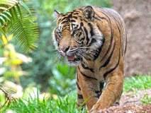 वाघ वाढलेत, आता टिकविण्याचे आव्हान