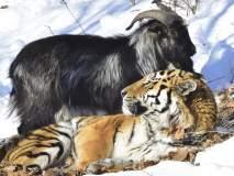 वाघ आणि बकऱ्याची प्रसिद्ध दोस्ती तुटली, वाघाच्या हल्ल्यात जखमी तिमूरचा मृत्यू!
