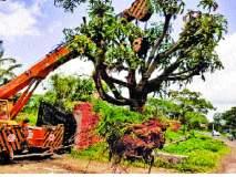 महामार्गबाधित मोठ्या झाडांचे पुनर्राेपण