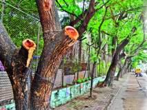 पुण्यात सिंहगड रस्त्यावरील झाडांच्या फांद्यांवर जनादेश यात्रेचीच संक्रात