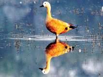 पक्षी जाय दिगंतरा; हजारो किमी प्रवास करुन परदेशी पाहुणे सागरी किनारी दाखल