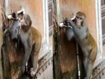 सोशल मीडियावर पाणी पिणाऱ्या माकडाचं होतयं कौतुक; का ते व्हिडीओत पाहा!