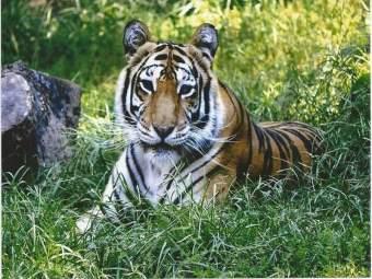 वाघाच्या शिकारीसंदर्भात गुन्हे दाखल; एकाला अटक