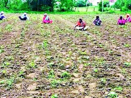 After the continuous rains, now the weeding costs of the farm increased   सततच्या पावसानंतर आता शेतीच्या निंदण खर्चात वाढ