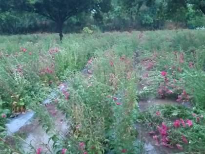 An acre of flowering grassland   एक एकरमधील फुलशेती भुईसपाट