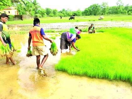 Baliraja sukhavala, rice planting work is almost done | बळीराजा सुखावला, भात लावणी कामाची लगबग