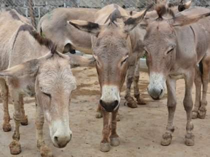 Significant increase in the number of donkeys even in the Corona crisis in Pakistan | कोरोना संकटातही पाकिस्तानात गाढवांच्या संख्येत लक्षणीय वाढ