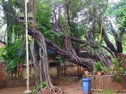 The old wadda trees in the mayor's bungalow collapsed in thane, witnessing history   महापौर बंगल्यातील जुने वडाचे झाड कोसळले, इतिहासाचा साक्षीदार निखळला