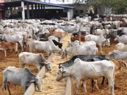 doctors warn against use of cow dung as cure for coronavirus   CoronaVirus: गायीच्या शेणाने खरंच कोरोना बरा होतो?; डॉक्टरांनी दिलेला हा इशारा वाचाच!