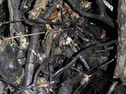 Nobody Can Spot The Venomous Rough-Scaled Snake Hiding Among The Branches In This Photo | 'या' फोटोत लपलेला साप शोधून भलेभले थकले, तुम्हीही करा प्रयत्न; सापडला तर माराल आनंदाने उड्या!