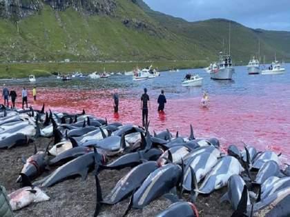 1428 Dolphins brutally slaughtered in denmark, outrage is being expressed all over the world | 1428 डॉल्फिन्सची निर्दयीपणे कत्तल, जगभरातून व्यक्त होतोय संताप...