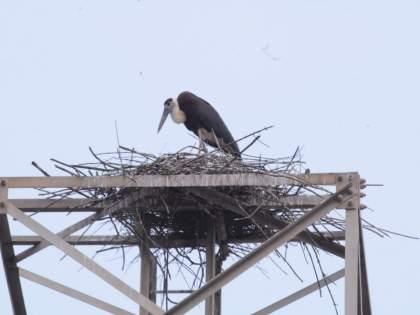 Oh wonder! A stork built his home on mobile tower In Pune   आश्चर्यम्! पुण्यात एका करकोचाने चक्क मोबाईल 'टॉवर'वरच बांधले घरटे