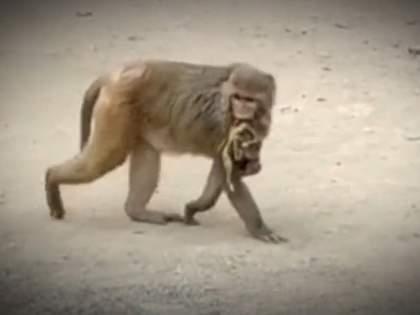 Mother Monkey Not Ready To Leave Her Baby Even After 10 Days Of Death | जगावेगळी ही माया! मेलेल्या बाळाला उराशी कवटाळून १० दिवसांपासून 'ती' माकडीण फिरतेय