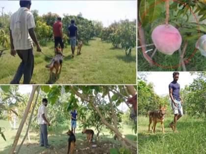 jabalpur miyazaki mangoes sell for about 3 lakh per kg 4 guards 6 dogs to protect   ७ आंब्यांसाठी ४ रखवालदार अन् ६ कुत्रे तैनात; असं आहे तरी काय आंब्यांत? किंमत ऐकून चक्रावून जाल