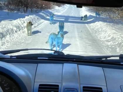 Reason Why Blue Dogs Were Seen In Russia | ...अन् अचानक रस्त्यात फिरताना दिसू लागले निळे कुत्रे; पाहून स्थानिक बुचकळ्यात पडले