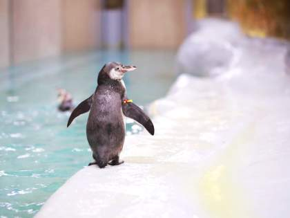 Baby Humboldt penguin is the newest member of the family at Byculla Zoo in Mumbai | राणीच्या बागेत चिमुकली पावले! पेंग्विनने दिला पिल्लांना जन्म