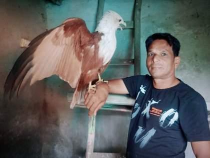 The release of a rare Brahmin Ghari trapped in a trap; The hearts of the forest department are in possession   जाळ्यात अडकून पडलेल्या दुर्मिळ ब्राह्मणी घारीची सुटका; वनविभागाच्या दिलं ताब्यात