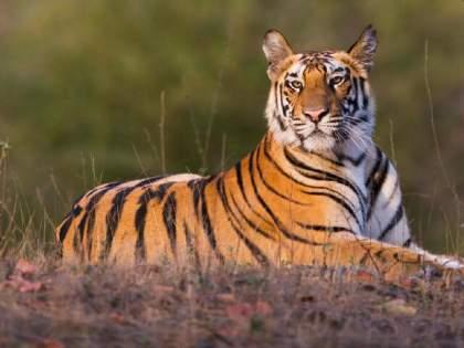 Global Tiger Day: Strong path towards doubling the number of tigers in the country by 2022 | Global Tiger Day: देशात वाघांची संख्या २०२२ पर्यंत दुप्पट करण्याकडे खंबीर वाटचाल