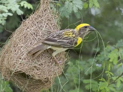 Scientific study of bird nests, guidelines issued | पक्ष्यांच्या घरट्यांचा होणार शास्त्रशुद्ध अभ्यास,मार्गदर्शक तत्त्वे जारी