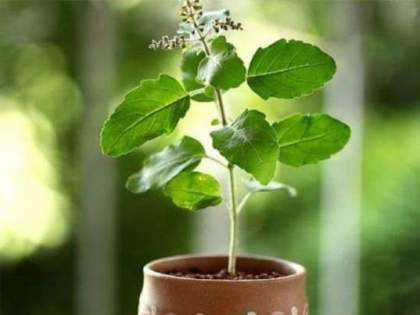 basil, neem also release oxygen at night   पिंपळ, तुळस, कडुलिंब रात्रीही सोडतात ऑक्सिजन