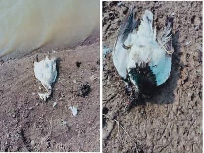 Bird Flu : Excitement over the discovery of 12 dead birds on the banks of a Khadkali lake | खडकळी तलावाच्या काठी १२ मृत पक्षी आढळयाने खळबळ