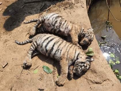 Bear dies along with three tiger cubs in Bhandara district   भंडारा जिल्ह्यात वाघाच्या तीन बछड्यांसह अस्वलाचा मृत्यू, वन्यजीव प्रेमींमध्ये हळहळ
