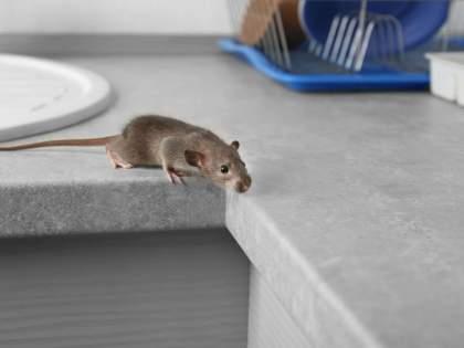 rats have invaded in Australia, biting people's eyes and ears   नरभक्षक उंदरांनी या देशात घातले थैमान, कुरतडताहेत लोकांचे डोळे आणि कान