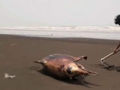 Dead dolphin weighing 250 kg found on Rajodi beach in Vasai   वसईच्या राजोडी समुद्र किनाऱ्यावर आढळला 250 किलो वजनाचा मृत डॉल्फिन!