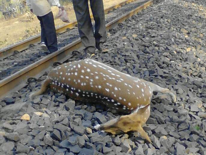 Two deer killed in train crash; Events on Gondia Ballarshah Road   नववर्षारंभी रेल्वेच्या धडकेत दोन हरीण ठार; गोंदिया बल्लारशाह मार्गावरील घटना