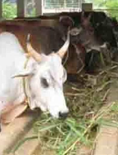 34,500 Animals got 'Aadhar Card' | ३४५०० दुधाळ जनावरांना 'आधार कार्ड'