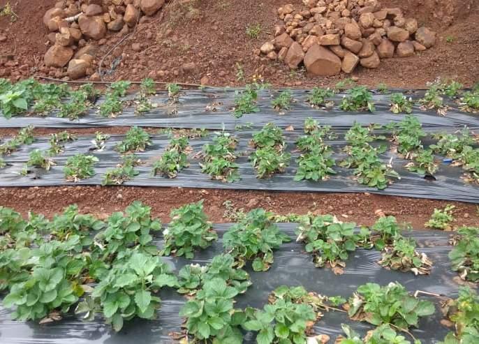 Hundreds of acres of strawberries in the rainy season! | पावसाच्या फेऱ्यात शेकडो एकर स्ट्रॉबेरी, नुकसान वाढले