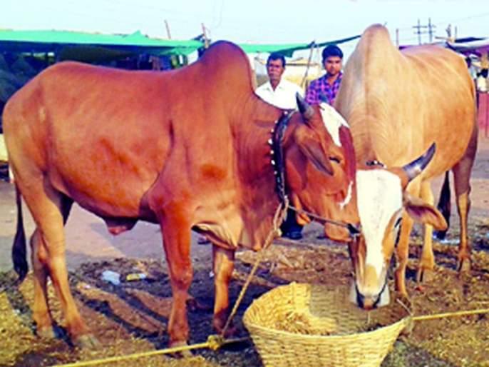 Buying and selling of oxen in Pandharkavad closed   पांढरकवडात बैलजोडींची खरेदी-विक्री बंद