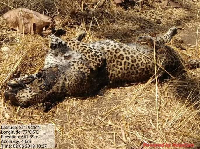 Leopard found dead in the Melghat Tiger project | मेळघाट व्याघ्र प्रकल्पातील बिबट मृतावस्थेत आढळला!