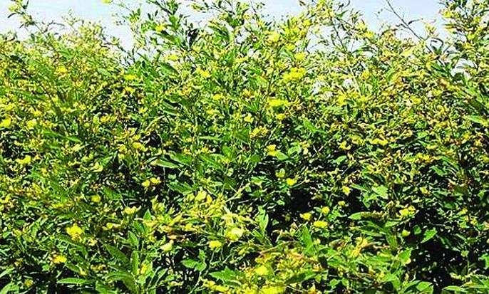 Hazardous weather threatens the toor crop   ढगाळ वातावरणामुळे तूर पीक धोक्यात