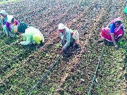 Shortage of summer onion seeds in Sinnar taluka | सिन्नर तालुक्यात उन्हाळ कांदा बियाणांची टंचाई