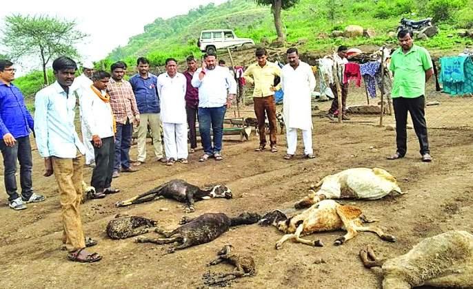 One and a half thousand sheep were died in Lakhanwada area | लाखनवाडा परिसरात दीड हजार मेंढ्या दगावल्या