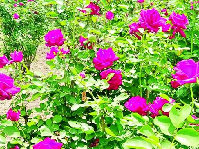 A graduate youth from Risod planted a flower garden in a field of ten gunthas!   रिसोड येथील पदवीधर युवकाने दहा गुंठे शेतात फुलविली फुलबाग !
