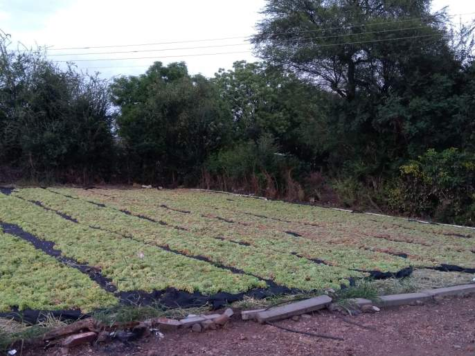 Emphasis on the production of homemade curry from grape growers   द्राक्ष उत्पादकांकडून घरगुती बेदाणा निर्मितीवर भर