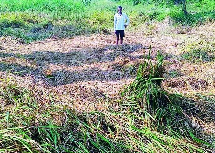 Farmers' Diwali Gad due to compensation; The district got 2 crore 70 lakhs | नुकसान भरपाईमुळे शेतकऱ्यांची दिवाळी गाेड; जिल्ह्याला मिळाले २ कोटी ७० लाख