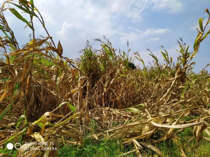 Loss of kharif season in Saigaon area   सायगाव परिसरात खरीप हंगाम तोट्यात