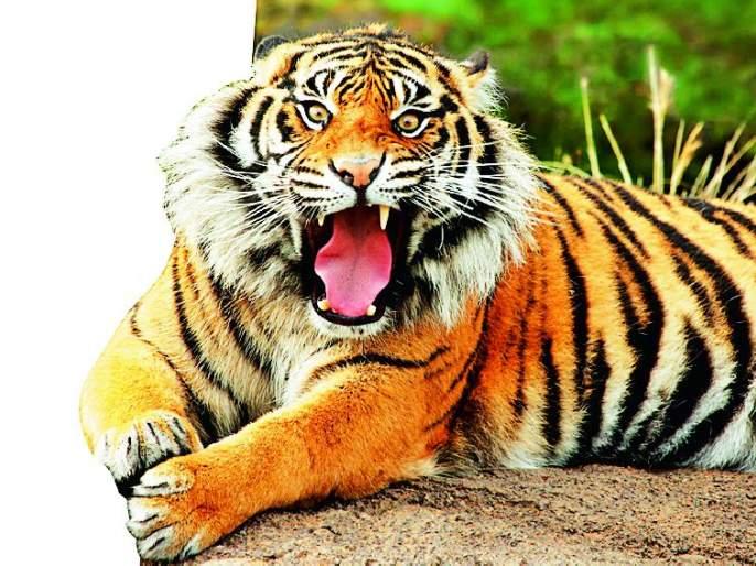 In seven and a half years, 19 bibs and two tigers have died | साडेसात वर्षांत १९ बिबट अन् दोन वाघांचा मृत्यू